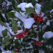 westcoast snow on holly
