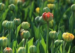 early tulips