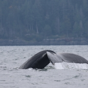 Vancouver Island Whale Watch - Humpback